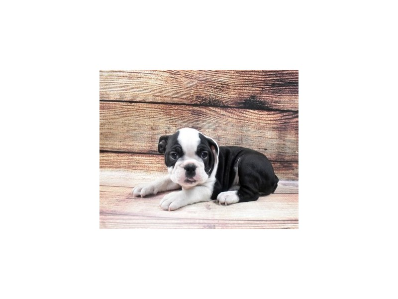 English Bulldog-Female-Black and White-2965064-Petland San Antonio