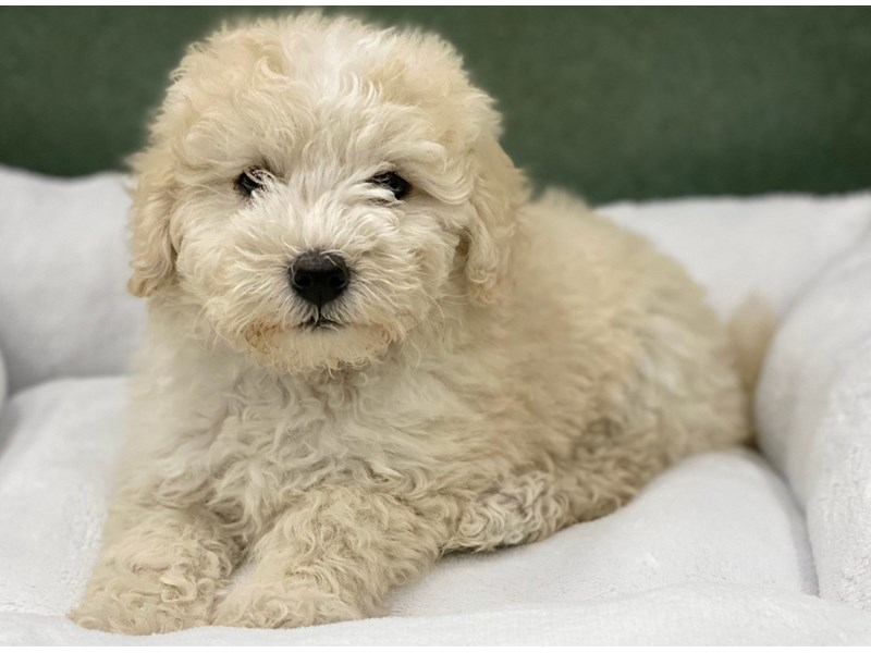 Maltipoo-Female-Cream & White-2974415-Petland San Antonio