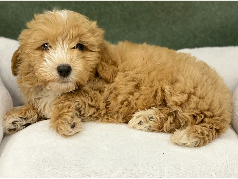 Maltipoo-Male-Red & White-2974411-Petland San Antonio