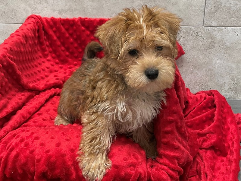 Morkie-Male-Golden-2948782-Petland San Antonio