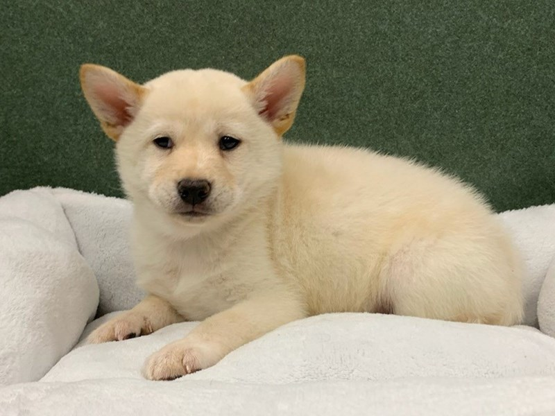 Shiba Inu-DOG-Male-Cream-2982387-Petland San Antonio