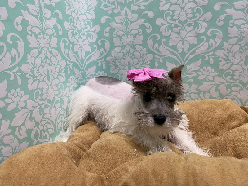 Miniature Schnauzer-Female-Salt and Pepper-2989615-Petland San Antonio