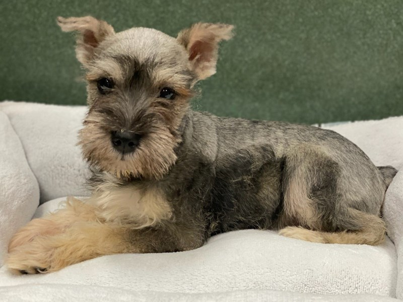 Miniature Schnauzer-Female-Salt and Pepper-2989562-Petland San Antonio