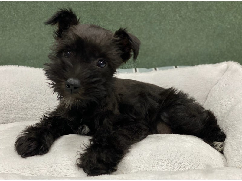 Miniature Schnauzer-Male-Black-2991333-Petland San Antonio