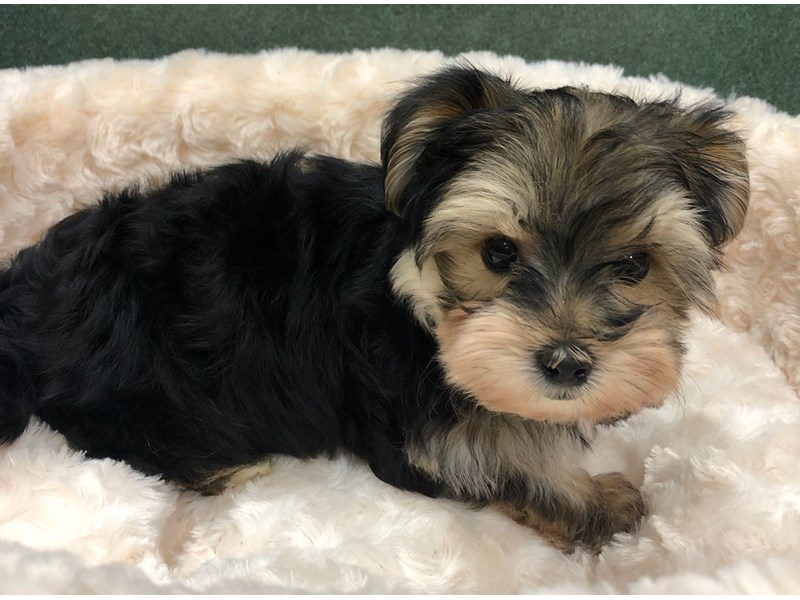Morkie-Male-Black & Tan-2999472-Petland San Antonio