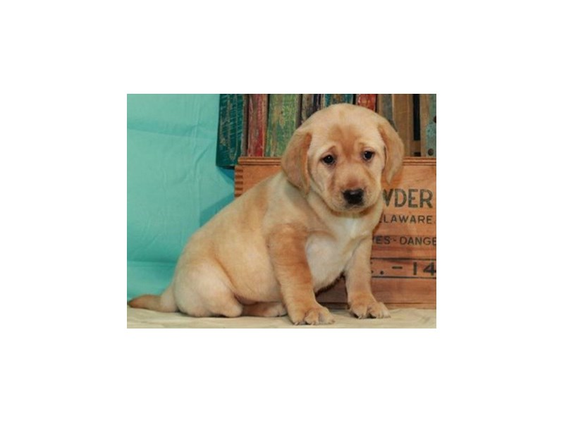 Labrador Retriever-Female-Yellow-2999405-Petland San Antonio