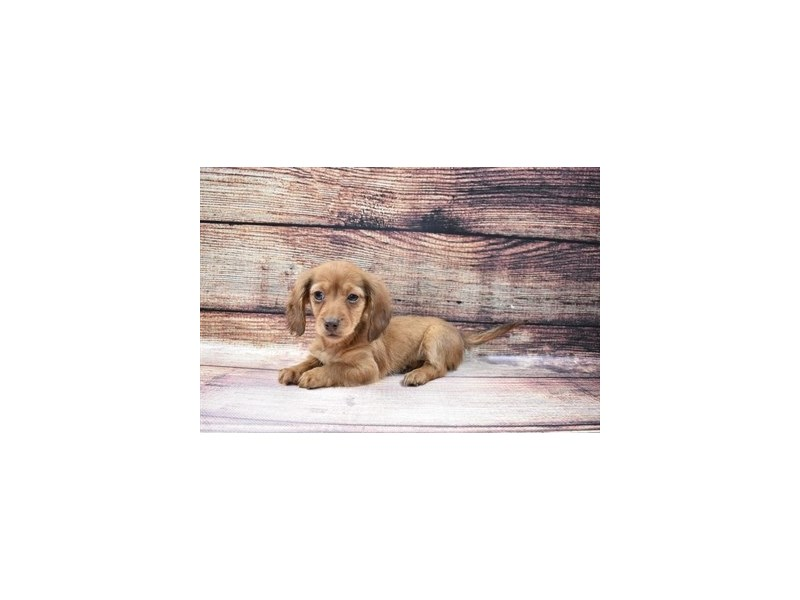 Dachshund-DOG-Female-Red-3016075-Petland San Antonio