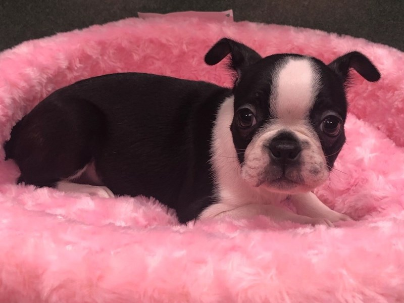 Boston Terrier-Female-Black & White-2943661-Petland San Antonio