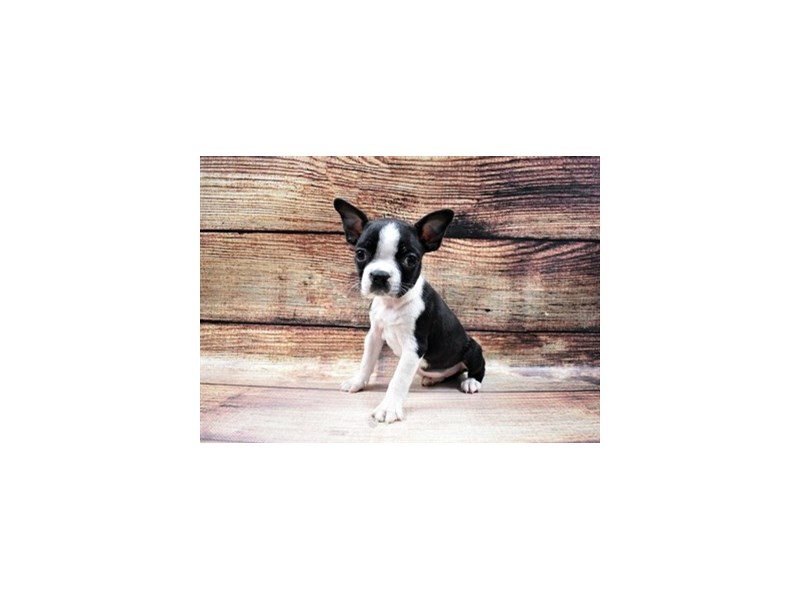 Boston Terrier-DOG-Female-Black and White-2989646-Petland San Antonio