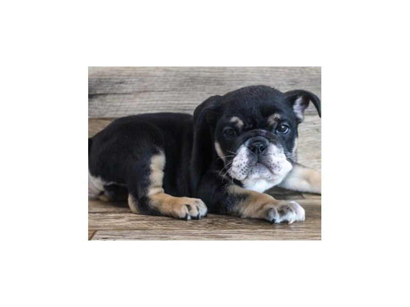 English Bulldog-Female-Black & Tan-3027841-Petland San Antonio
