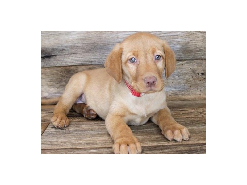 Labrador Retriever-Female-Yellow-3027848-Petland San Antonio