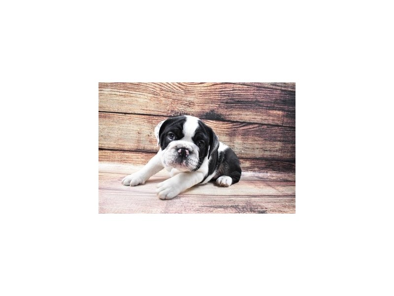 English Bulldog-Male-Black and White-3056884-Petland San Antonio
