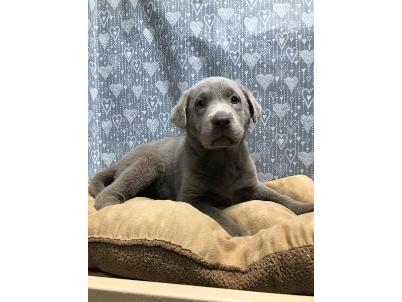 Labrador Retriever-Male-slvr-3058497-Petland San Antonio