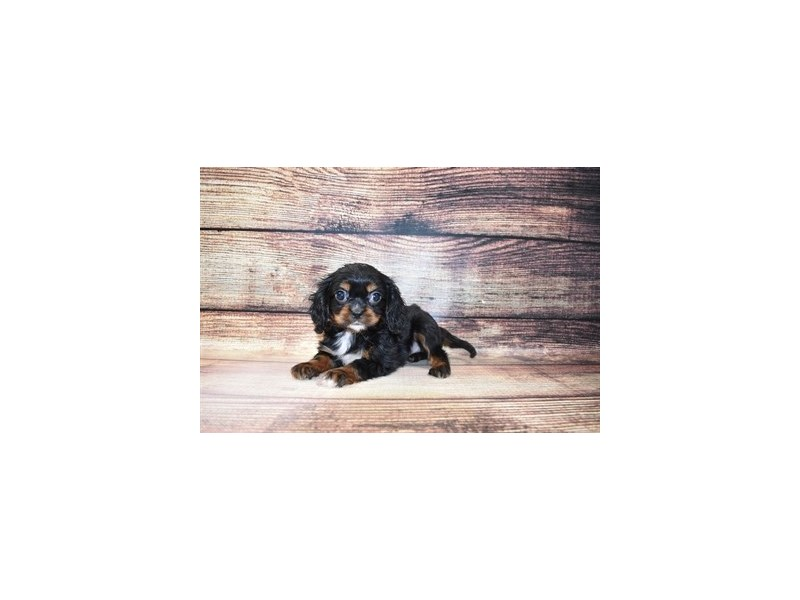 Cavalier King Charles Spaniel-Male-Black and Tan-3078487-Petland San Antonio