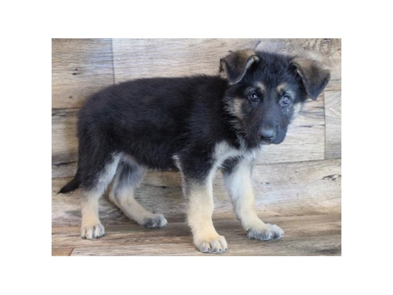 German Shepherd-Male-Black & Tan-3090823-Petland San Antonio