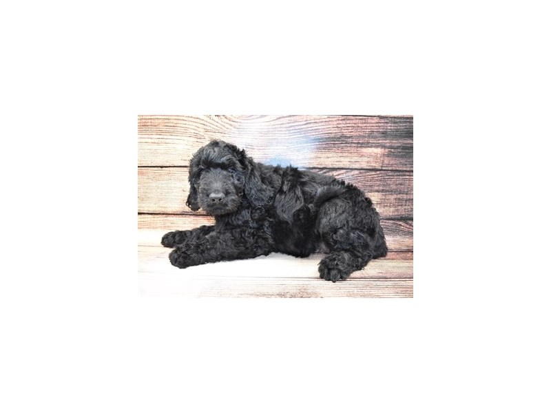 Goldendoodle-Male-Black-3100415-Petland San Antonio