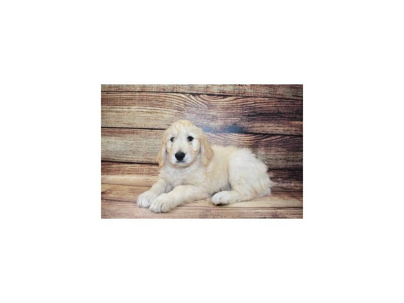 Goldendoodle-Female-Light Golden-3078365-Petland San Antonio