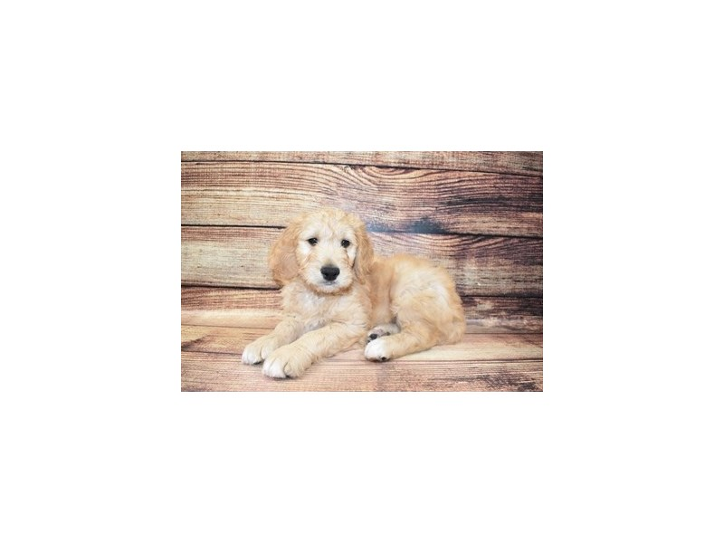 Goldendoodle-Male-Golden-3078366-Petland San Antonio