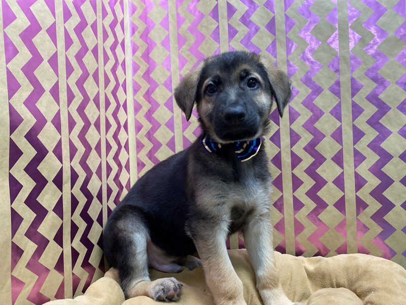 German Shepherd-Male-blk & tn-3112656-Petland San Antonio