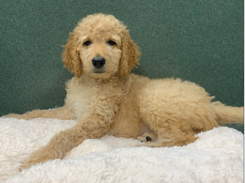 Goldendoodle-Female-Red-3113115-Petland San Antonio