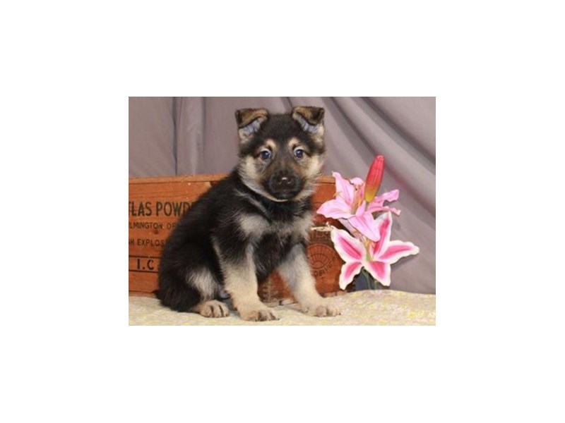 German Shepherd-Male-Black & Tan-3113103-Petland San Antonio