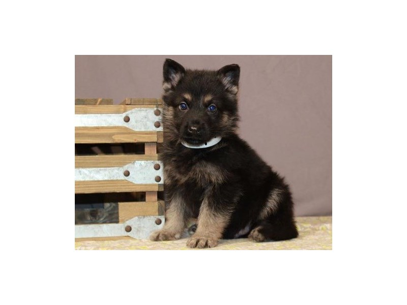 German Shepherd-Male-Black & Tan-3123640-Petland San Antonio